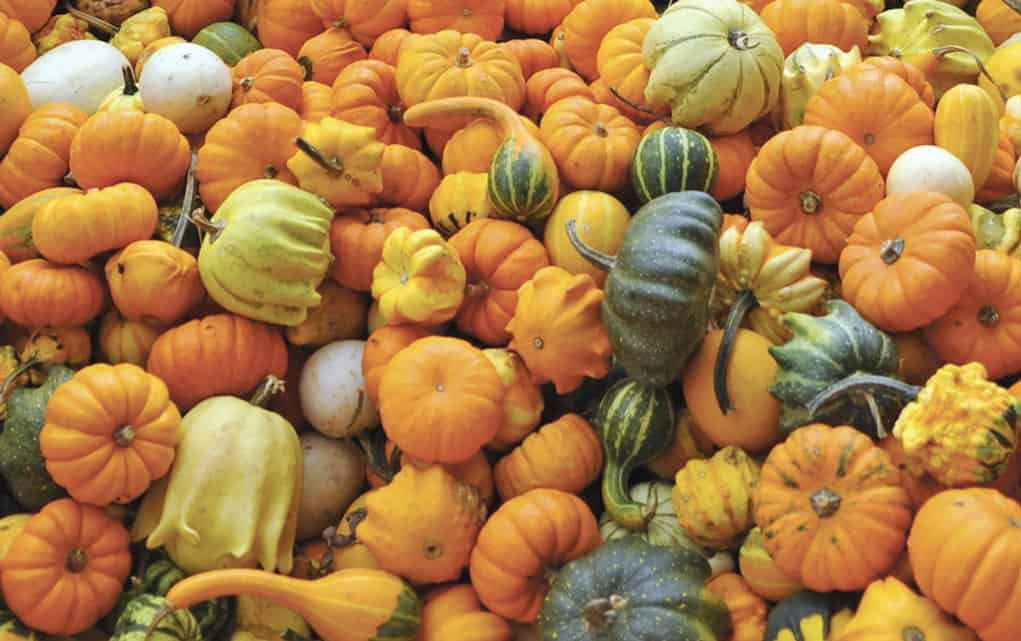 Stuart Horst also has lots of these little gourds on his farm. He bought 2,500 pumpkins this year and expects to sell out by Halloween.[Whitney Neilson / The Observer]