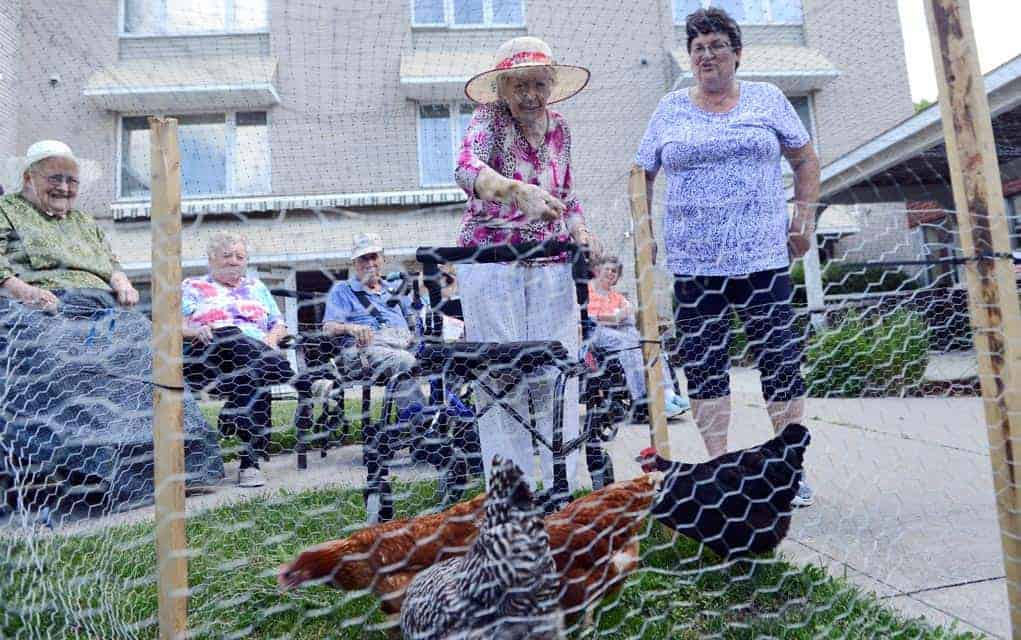 Four hens now onsite provide a fun outlet for residents at Chartwell Elmira retirement facility