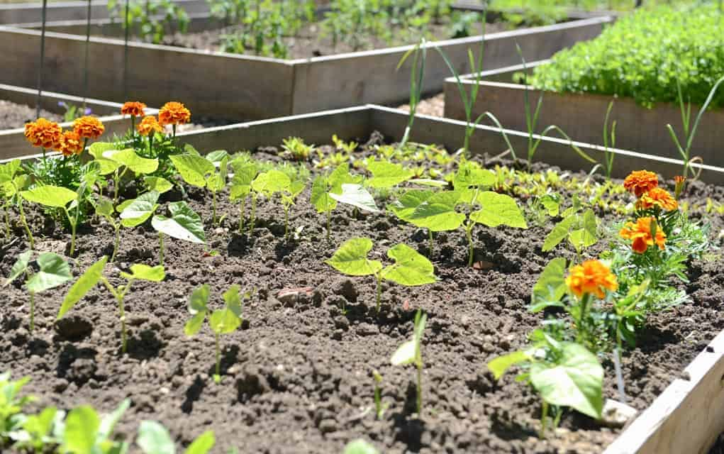 Woolwich Community Services community gardens program provides space for those who may have little lawn available, or none at all