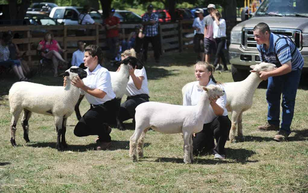 A staple of the Drayton Fair, participants showed off their sheep at the last year's event.